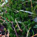Moss / Calliergon