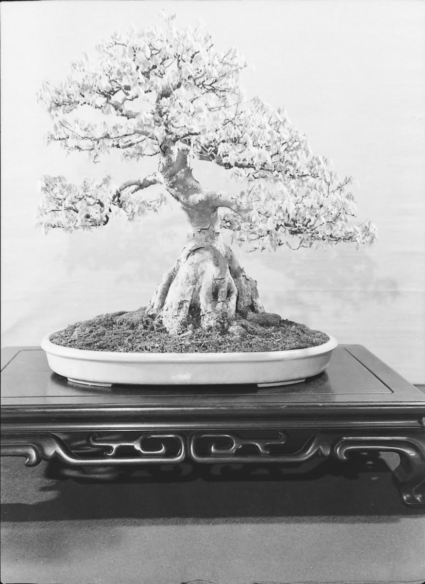 Bonsai Trees