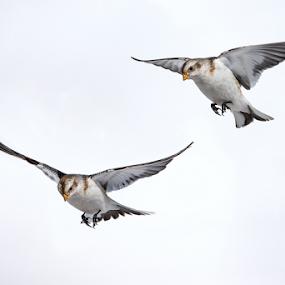 Double flight by Alberto Carati - Animals Birds