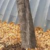 Northwest poplar or Carolina poplar