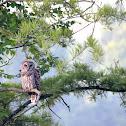 Barred Owl (Hoot Owl)