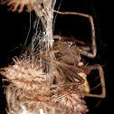Lynx Spider Female