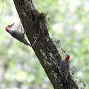 Red Bellied Woodpeckers-pair