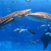 Shark wallpaper01
