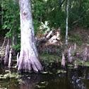Cypress tree, Louisiana