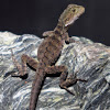 Eastern Water Dragon (recent hatchling)