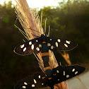 Nine-spotted Moths (copulation) ♂♀