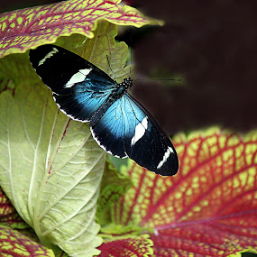 A beautiful butterfly by Mili Shrivastava - Animals Insects & Spiders ( butterfly, blue butterfly, nectar, wildlife, flowers,  )