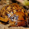 Australian Tortoise Beetle