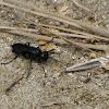 Cricket-hunting wasp