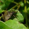 Forest bug, Tarczówka rudonoga