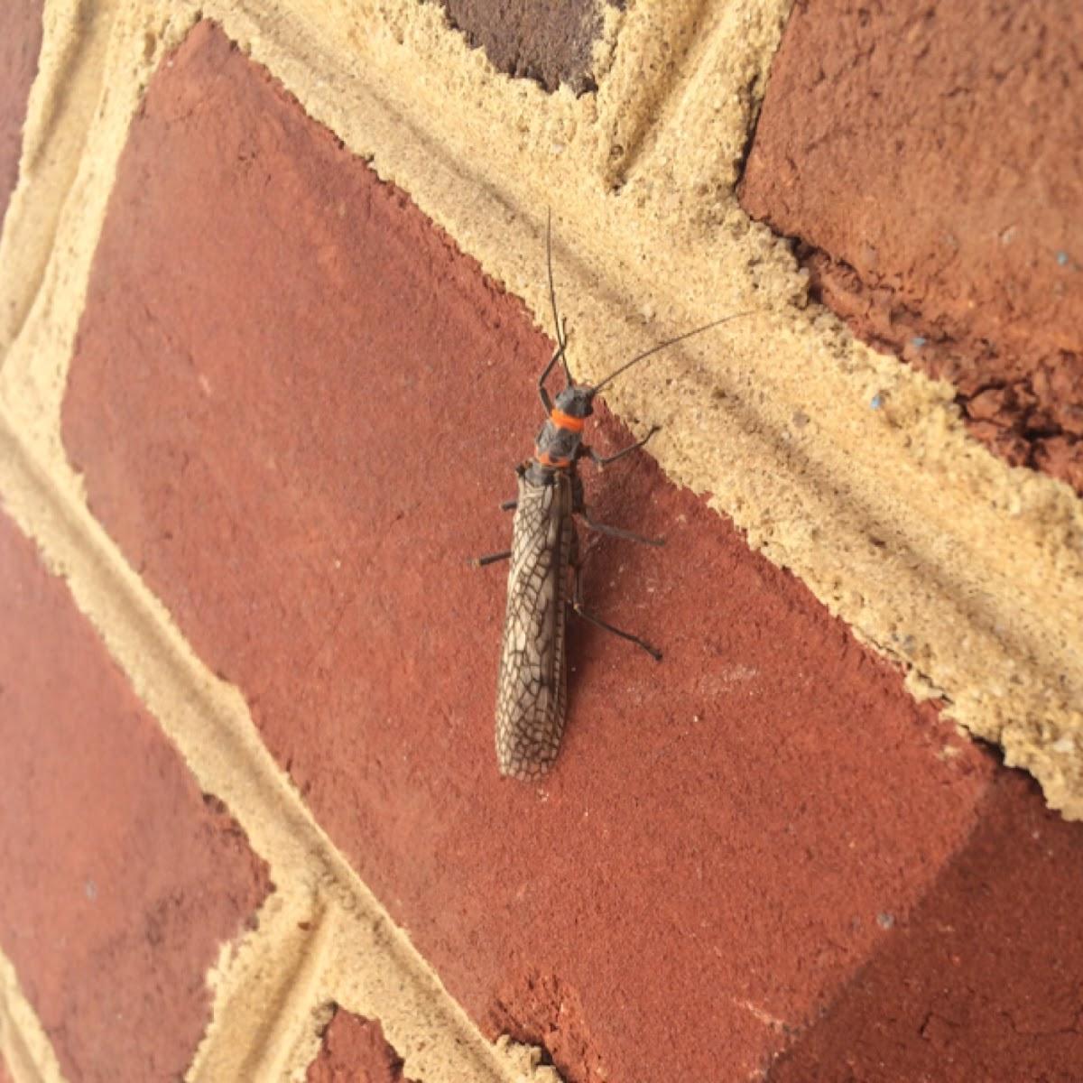 Giant Stonefly (Salmonfly)
