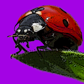 Ladybugs Alive! Wallpaper