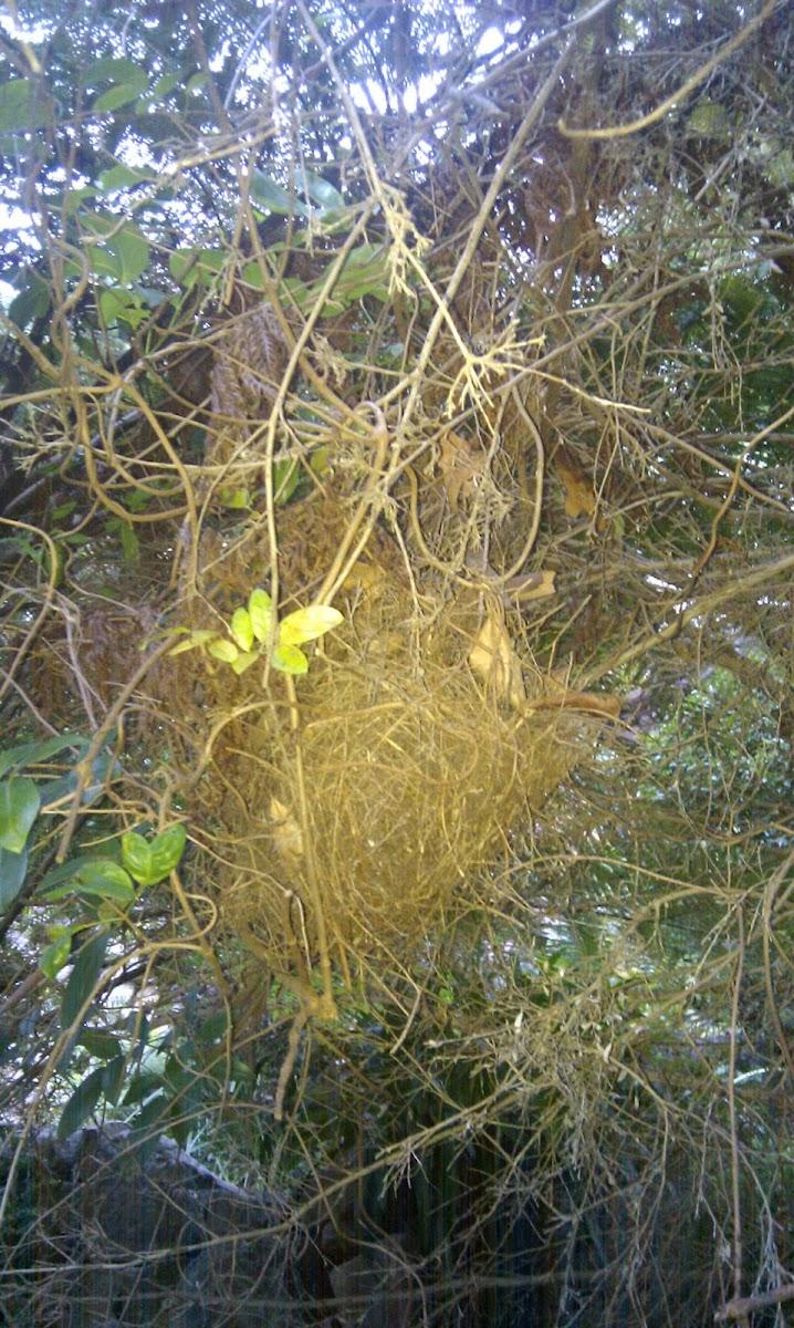 Brown Gerygone nest