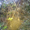 Brown Gerygone nest
