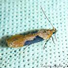 Micro-Lepidoptera
