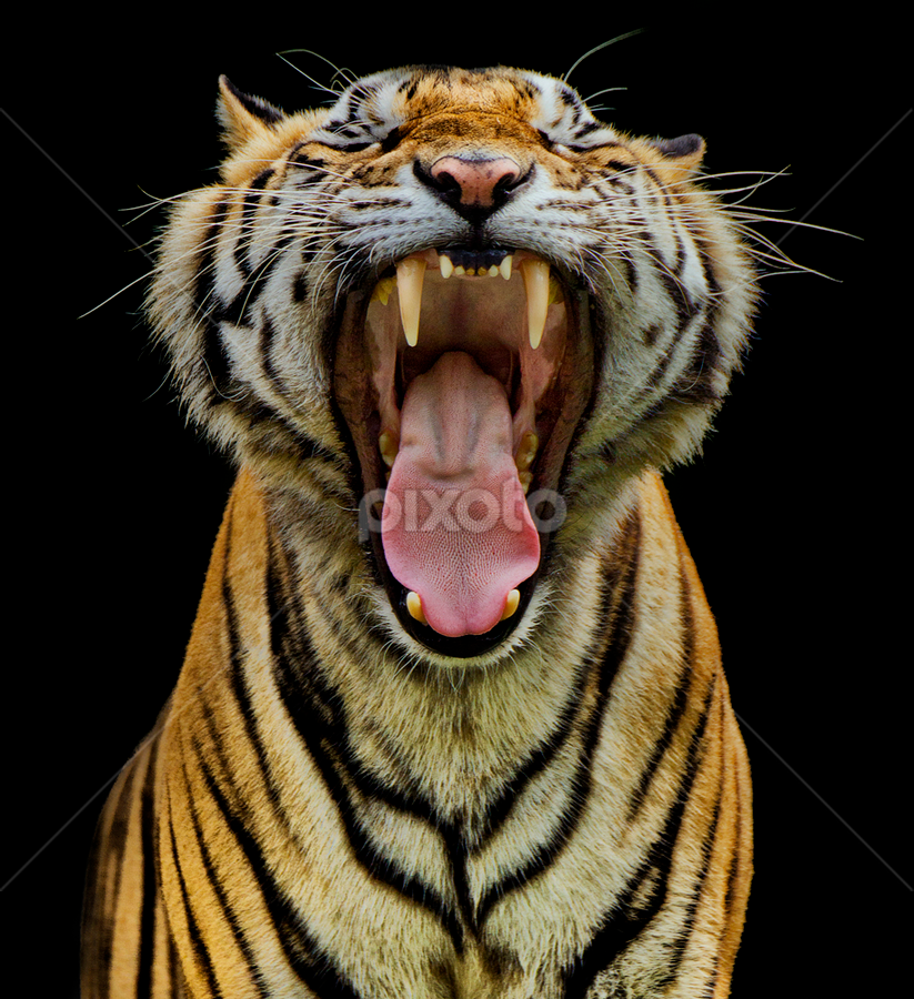 Yawning Wild by Charliemagne Unggay - Animals Lions, Tigers & Big Cats ( wild, big cats, animals, tiger, sharp teeth )