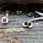 Bird's nest fungi