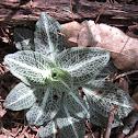 Dwarf rattlesnake plantain
