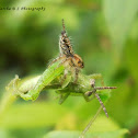 Jumping spider v/s Grasshopper