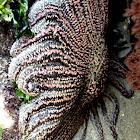 Sol de mar /Crown of Thorns Starfish