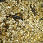 Semibalanus balanoide (Bellota de mar)