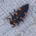 Seven-spotted Ladybug (larva)
