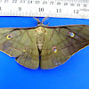 Oak-Tussar Silk Moth