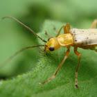 Escarabajo soldado