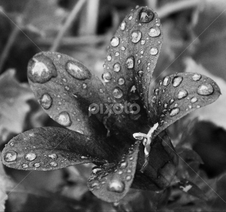 by Marina Blazevic - Black & White Macro ( black & white, macro )