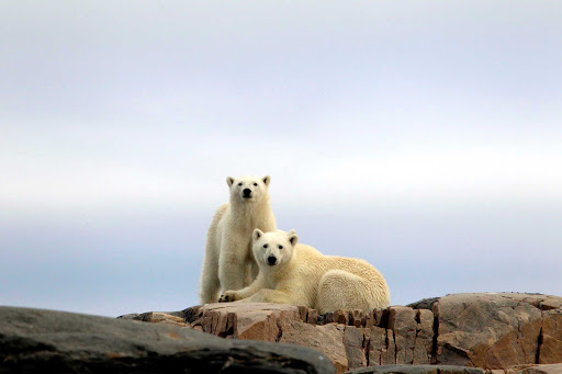 Svalbard-polar-bears-on-rock - During your cruise aboard the Hurtigruten cruise ship Fram you'll have the chance to capture amazing photos of polar bears in their natural habitat.