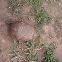 Speke's Hinged Tortoise