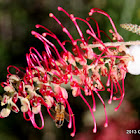 Red Grevillea with Spit Beetle & Bee