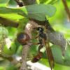 Grass-carrier wasp