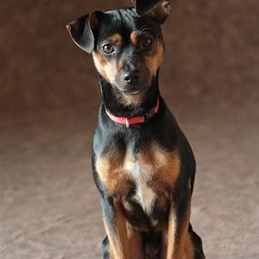 JACK EN EL ESTUDIO by Jose Mata - Animals - Dogs Portraits