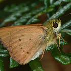 Bright Shield-skipper (female)