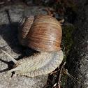Roman snail or Snail king (Escargot)