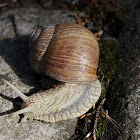 Roman snail or Snail king (Escargot)