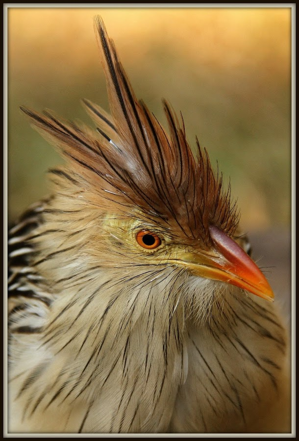 Bad hairdo by Romano Volker - Animals Birds