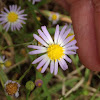 Thomson's Aster