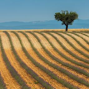 Levander fields_Provence by Miroslav Havelka - Landscapes Prairies, Meadows & Fields ( tree, provance, levander fields, landscape, valensole )