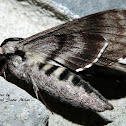 Apple Sphinx Moth