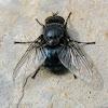 Blow Fly - male