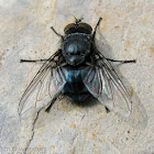 Blow Fly - male