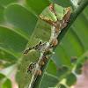 Papilionidae Larvae