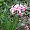 Hyacinth, Hyazinthe