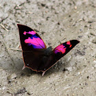 Nessus leafwing