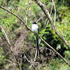 Tesourinha (Fork-tailed Flycatcher)
