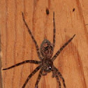 Fishing spider (female)