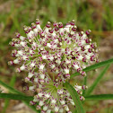 Long-leaf Milkweed